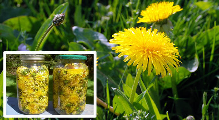 a-dandelion-cures-cancer-hepatitis-liver-kidneys-stomach-heres-how-to-prepare