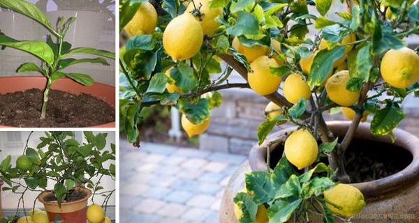 how-to-grow-an-unlimited-supply-of-lemons-using-just-1-seed