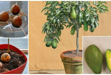 stop-buying-avocados-heres-grow-avocado-tree-small-pot-home