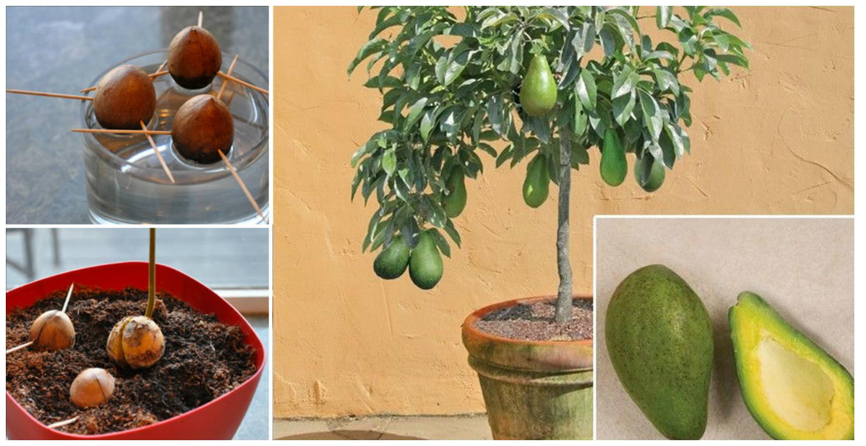 Авокадо как его вырастить в домашних условиях фото пошагово 168
