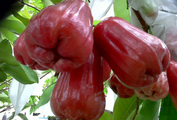 health-benefits-rose-apples